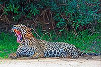 Uhlbach: 11.3.2020 -Wildes Pantanal – Auge in Auge mit zahlreichen Jaguaren